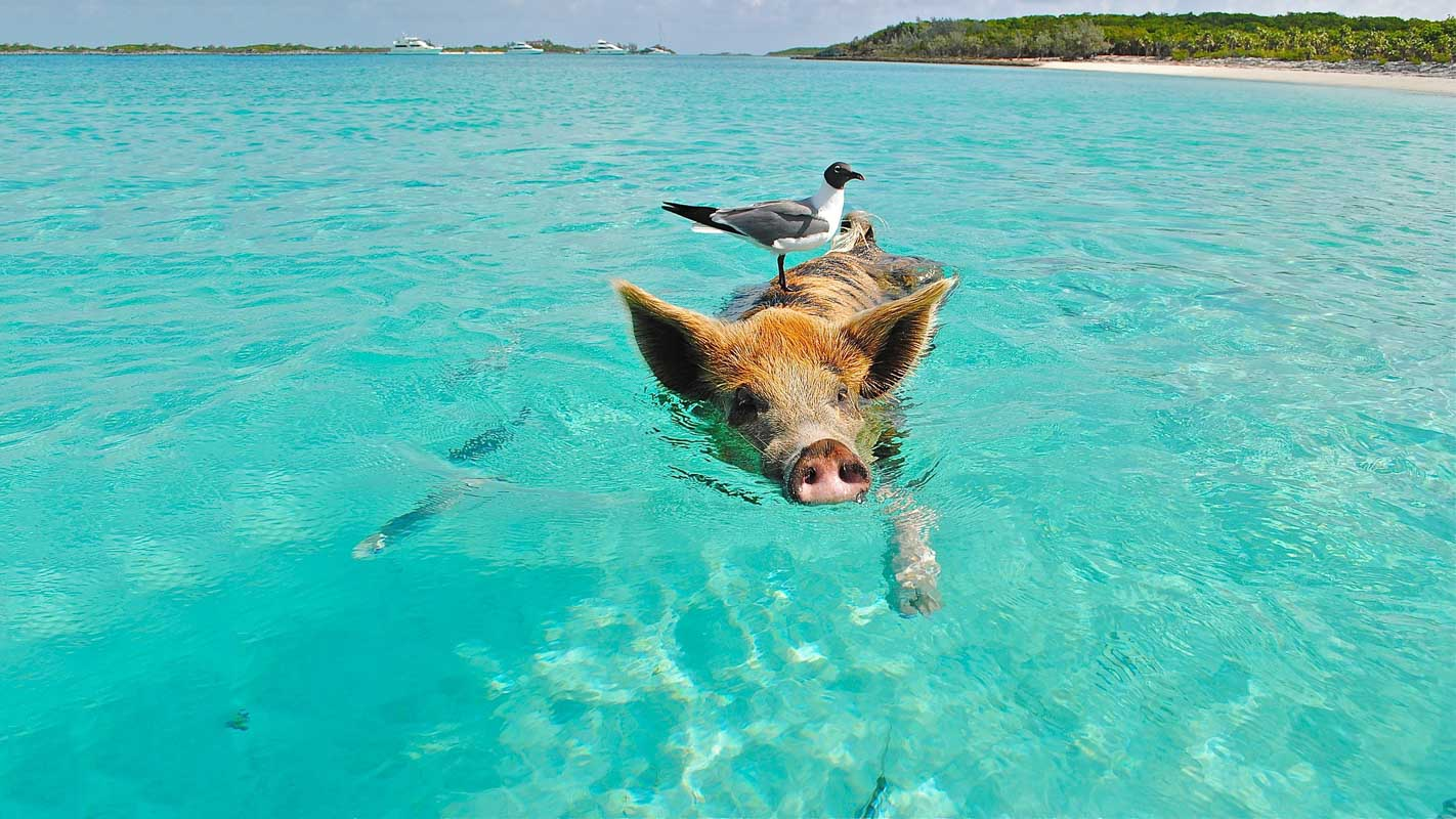 pig and bird swimming in water at the beach funny beach captions for guys and girls